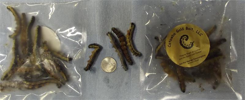 Frozen 2nd quality catawba catalpa worms for Catalpa worms fishing